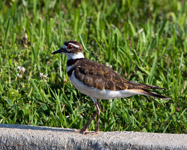 killdeer_IMG_9075_6687