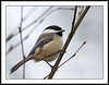 Black Capped Chickadee @ Richmond Nature Park, Richmond, BC (w/ Sigma 50-500 aka Bigma)