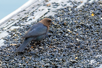 Brown-headed Cowbird - Adult Male - Cowbirds forgo building nests and instead put all their energy into producing eggs, sometimes more than three dozen a summer. These they lay in the nests of other birds, abandoning their young to foster parents, usually at the expense of at least some of the host's own chicks.