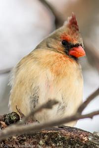 4/52 - 4: Cardinal at Kensington