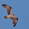 Osprey inflight