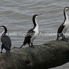 Cormorants on log.