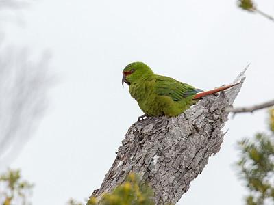 Slender-billed Parakeet (Enicognathus leptorhynchus)