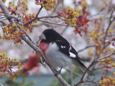 Rose-breasted Grosbeak, 11 May 2008