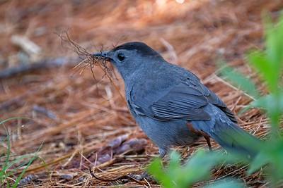 Gray catbird (Dumetella carolinensis).