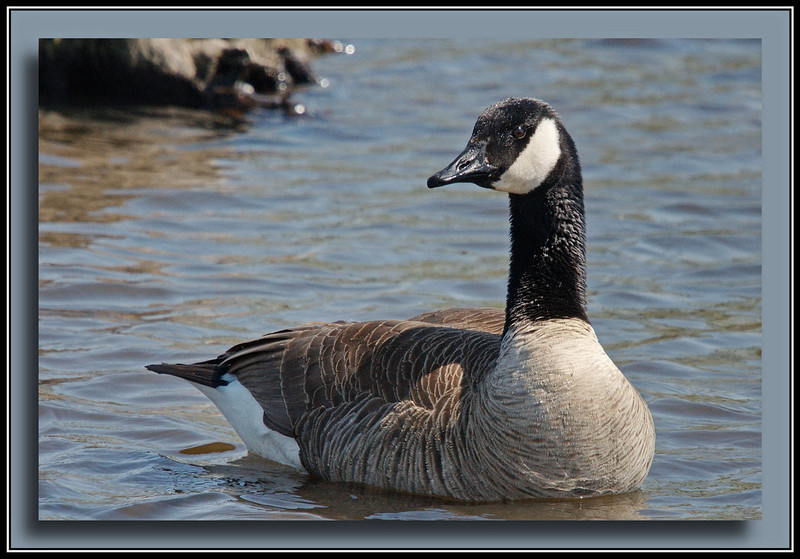 Canada Goose with normal coloration.  (w/ Bigma)