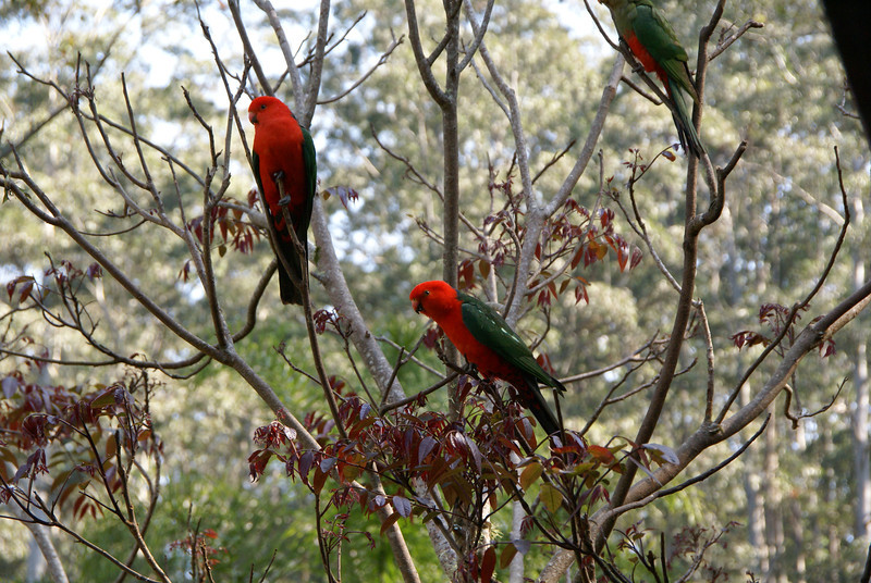 King parrots (Alisterus scapularis), two males and a female.