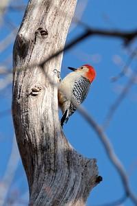 Red-bellied Woodpecker - Melanerpes carolinus, male.