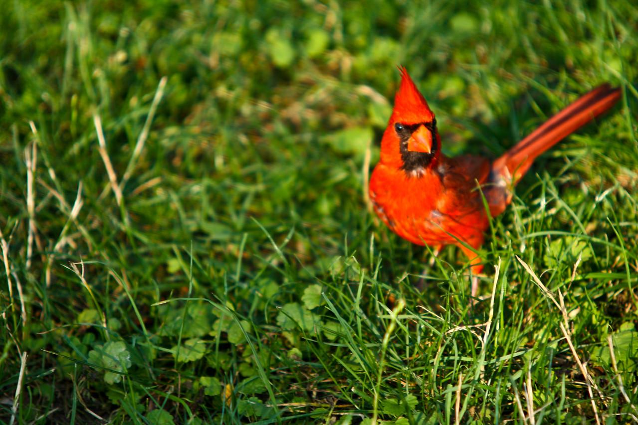 cardinal-12