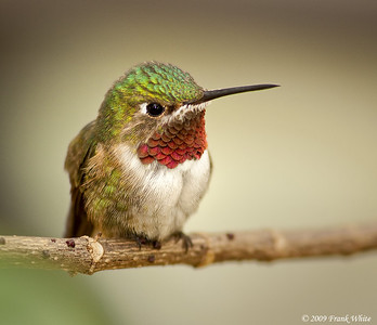 Hummingbird, taken at Hummingbird World, Ft. Lauderdale, FL