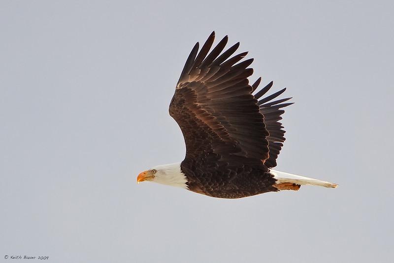 Bald Eagle - Utah