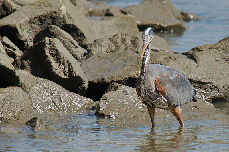 """Sequence 1/9 -  """"This is just bait....""""<br /> Great Blue Heron on Fraser River @ Annacis Island"""