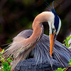 Great Blue Heron   #1009
