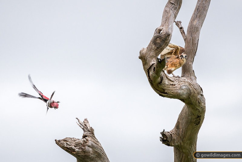 Brown Falcon vs Galah