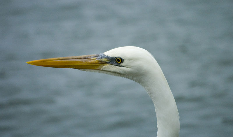 Great Egret at Florida Keys