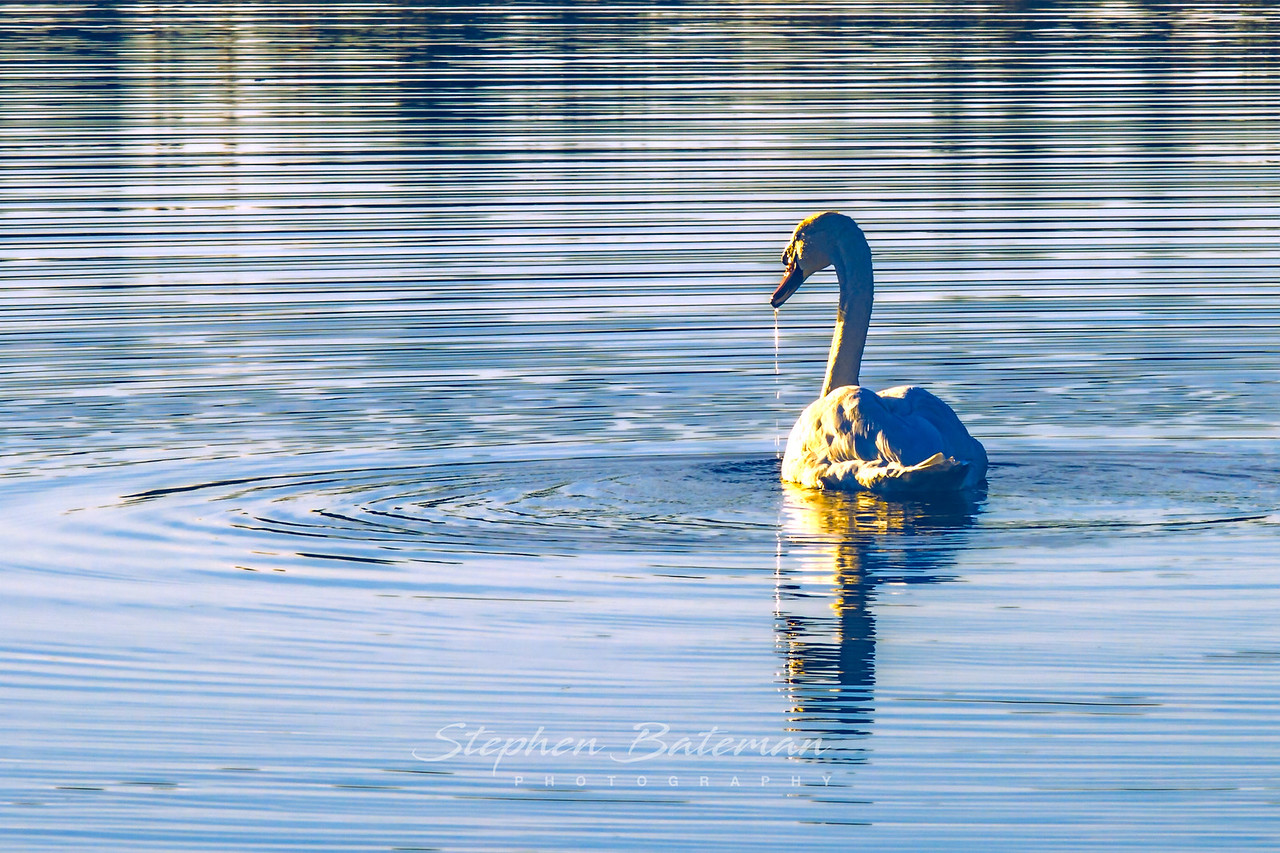 Swan at Bird Sanctuary