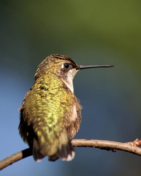 Ruby-Throated Hummingbird (Male, Juvenile)