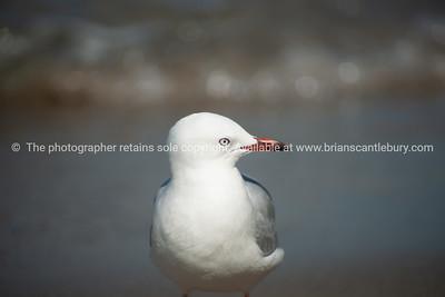 Seagull portrait.