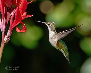 Hummingbird on Long Island, NY.