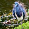 Display: Tricolored Heron  #908