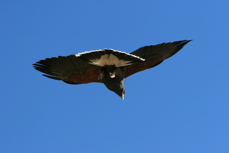 Harris hawk passing over