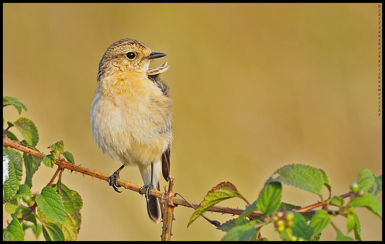 Collar up..,proud to be a bird....! | Stone Chat (female )