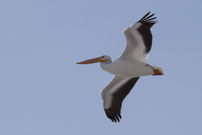 29 of my 365 project; Pelican at farmington bay