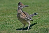Roadrunner, they have become the chipmunks of northern golf courses, They jump in the cart and steal your lunch.