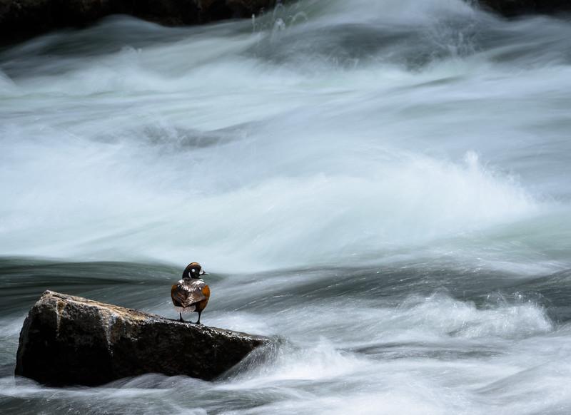 Harlequin Duck | Yellowstone NP