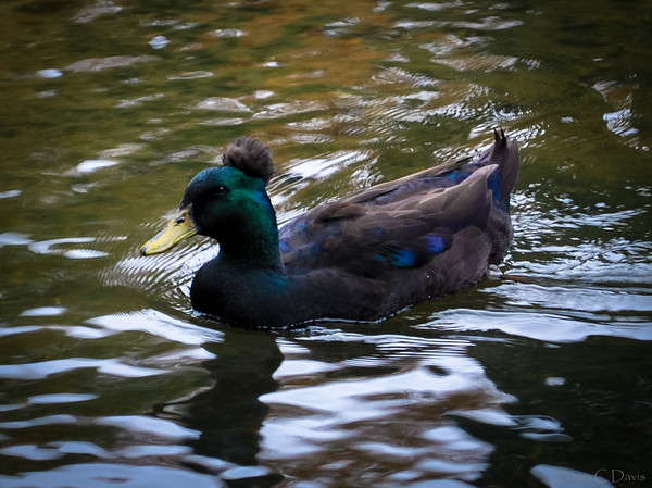 Crested Duck blues