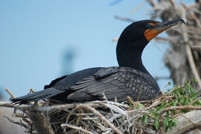 Nesting double-crested cormorant.  New York, NY.