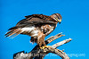 Ferrugionous Hawk