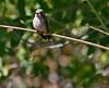 violet-crowned humingbird