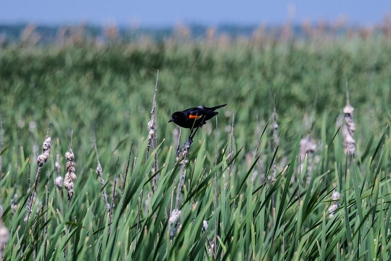 Red-winged Blackbird (Agelaius phoeniceus).