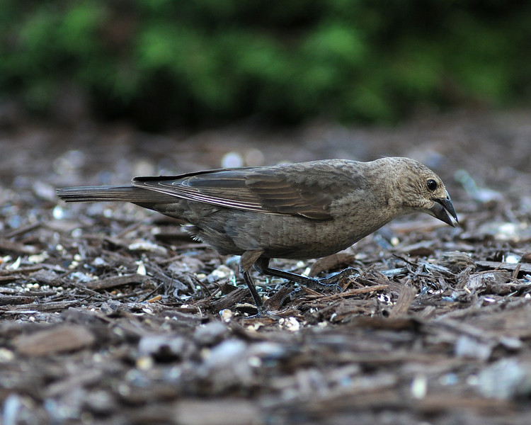 Brown-headed Cowbird, Female