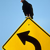 Turkey Vulture, Big Cypress National Preserve, Everglades, Florida