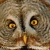 owlsnowcloseupcrop