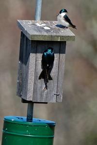 Tree Swallow (Tachycineta bicolor).