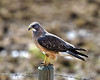 Swainson's Hawk hunting frogs<br /> May 11, 2013