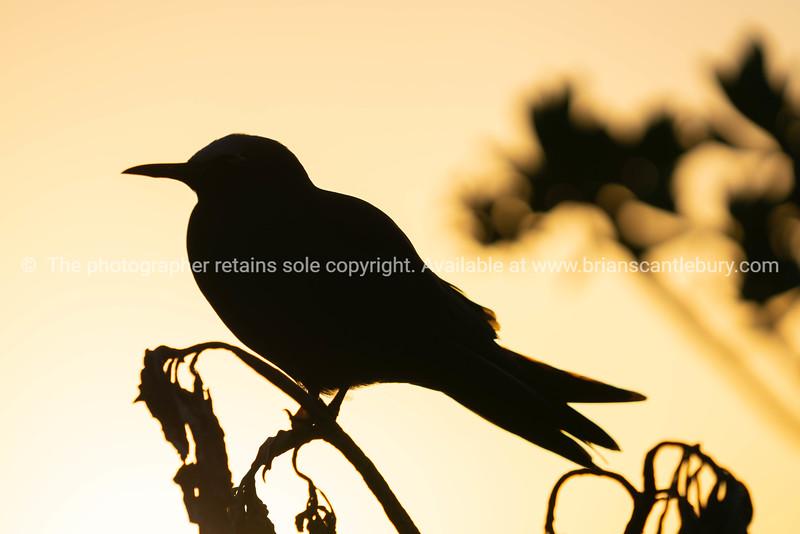 Golden glow of sunset behind silhouette bird
