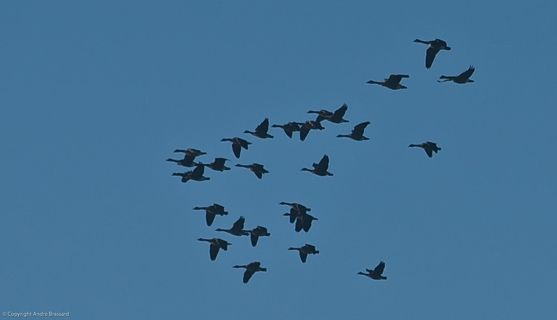 Canada Geese flying south for the winter from Inukjuak.