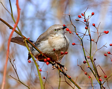 Mocking Bird ready to eat berry.