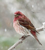 Purple Finch In April Snow