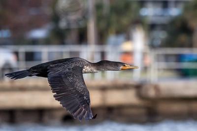 Cormorant in flight -69