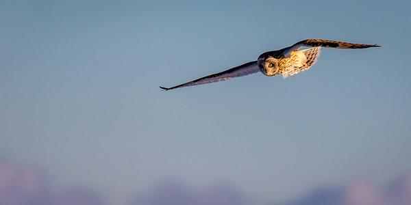 SE Owl in flight -7996