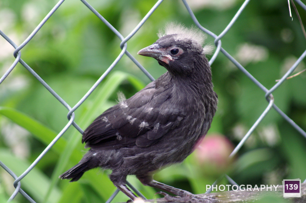 Baby Grackles