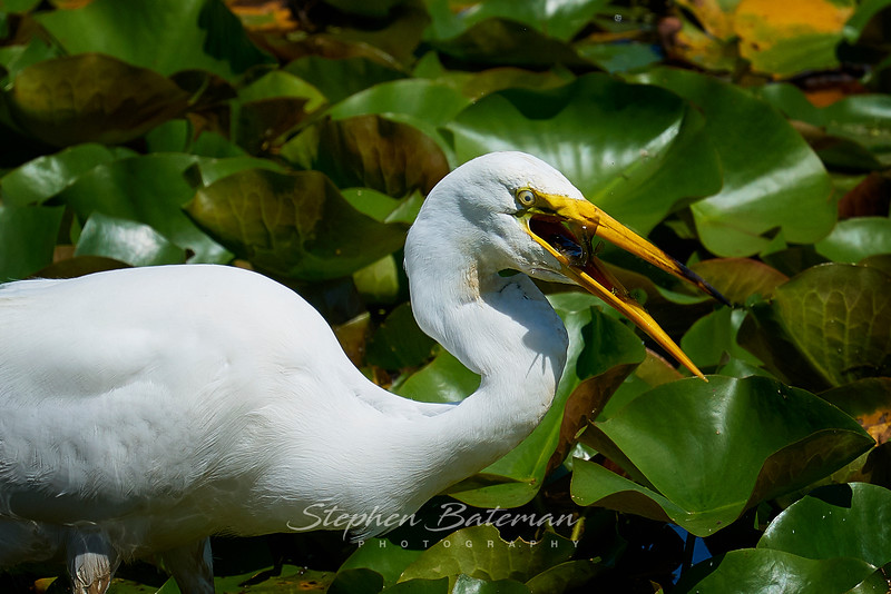 Egret Fishing, Lilly Lake CMP