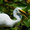 Egret Fishing, Lilly Lake CMP