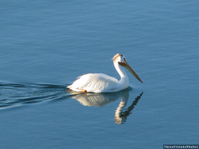 Pelican in Frenchman Reservoir