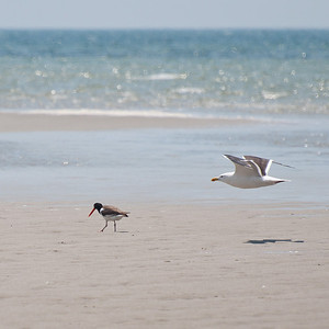American Oystercatcher and Herring Gull at Monomoy NWR on 20100618